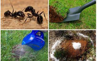 כיצד להיפטר נמלים בתרופות עממיות גן