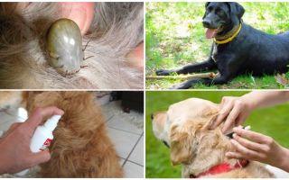 התרופות הטובות ביותר עבור כלבים מפני קרציות ופרעושים