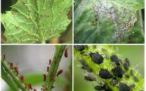 איך להתמודד עם כנימות בגן ובגן של תרופות עממיות