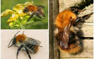 תיאור וצילומים של דבורת הבומבוס
