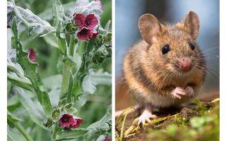 הצמח השורש השחור של עכברים