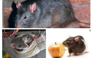 עובדות עכברוש מעניין