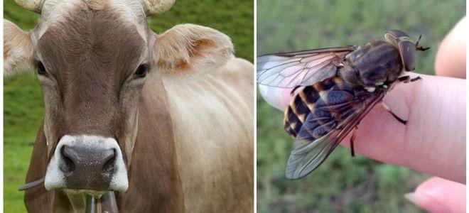 כיצד לטפל פרה מ gadflies ו gadflies בבית