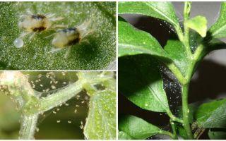 כיצד להיפטר קרדית העכביש על צמחים מקורה