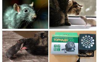 מה חולדות ועכברים מפחדים?