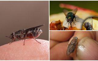 למה זבובים נוחתים על בני אדם