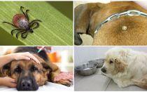 תסמינים וטיפול ב- piroplasmosis אצל כלבים